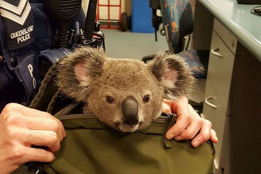 A handout photo released by Queensland police on Nov 7, 2016 shows the baby koala found in the bag of a woman they stopped in the street.
