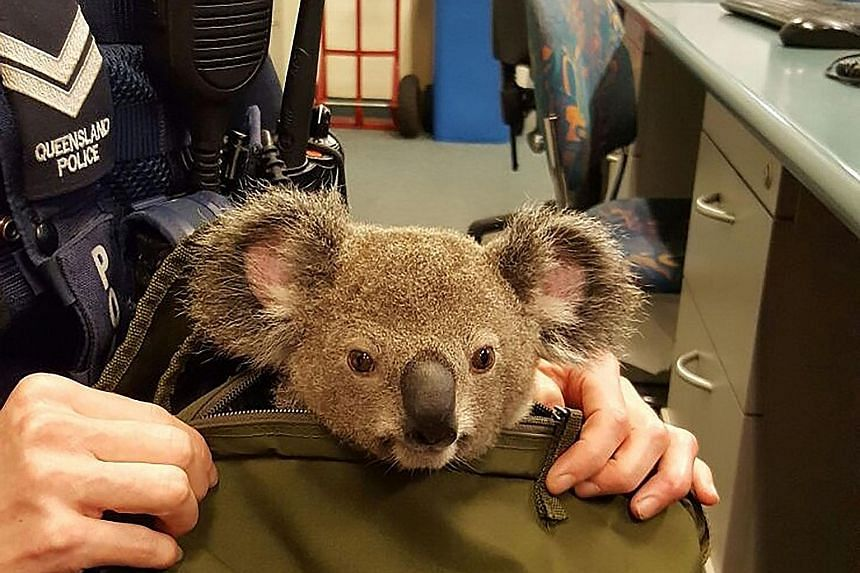 Australian police uncovered a baby koala in the bag of a woman they stopped in a street on Sunday evening. The 50-year-old, who was being spoken to on unrelated matters, stunned Brisbane officers when she revealed she had the joey, which is protected