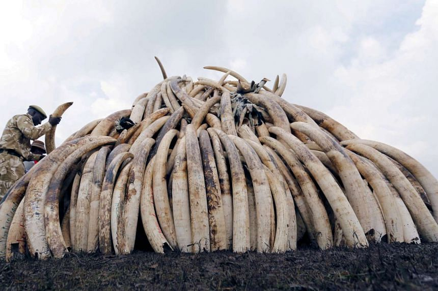 A Kenya Wildlife Service (KWS) ranger stacks elephant tusks, part of an estimated 105 tonnes of confiscated ivory to be set ablaze, on a pyre at Nairobi National Park.