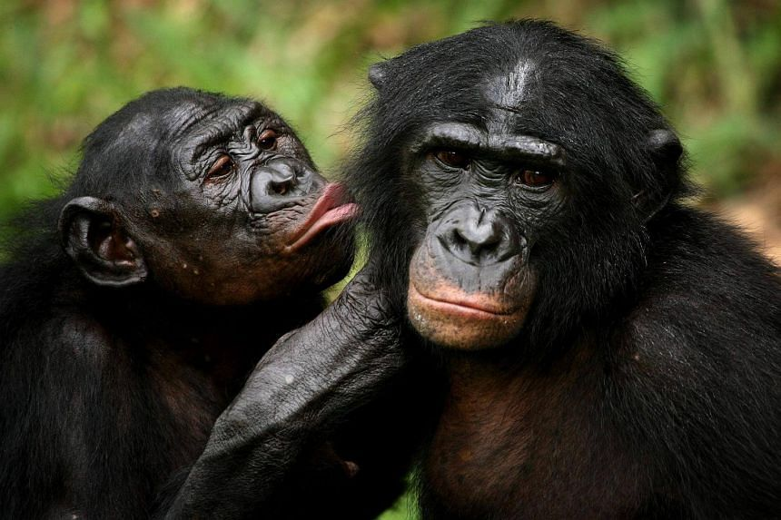 Just like humans who rely on reading glasses when they age, older wild bonobo apes can benefit from magnifying eyewear, new research shows.