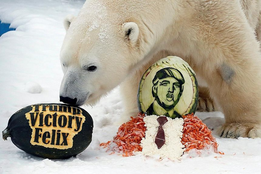 Felix, a 10-year- old male polar bear, inspecting a pumpkin, part of the treats the animal was given for correctly predicting the winner of the US presidential election. The bear at the Royev Ruchey zoo in Krasnoyarsk, Russia, yesterday also received