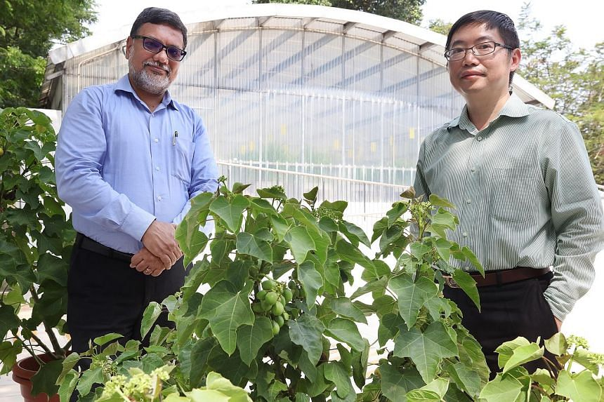 JOil chief operating officer Sriram Srinivasan, seen here with JOil chief scientific officer Hong Yan, says jatropha (above and below) can benefit many communities in multiple countries who could use it as a crop for sustainable agriculture. Jatropha