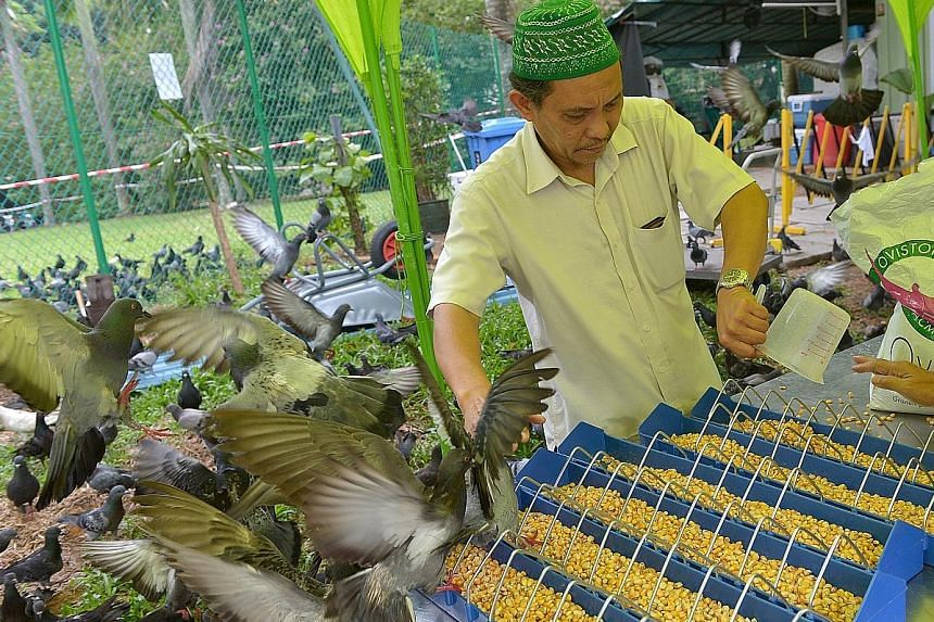 Mosque volunteer Samad Ismail pouring out the corn-based feed, which contains the drug nicarbazin, for the pigeons at Masjid Haji Muhammad Salleh mosque in Palmer Road during the trial. After the year-long AVA trial, which ended last month, the pigeo