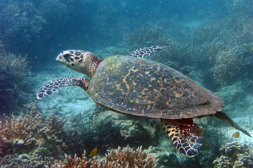 The hawksbill turtle, which is considered critically endangered, is commonly found here in Singapore.