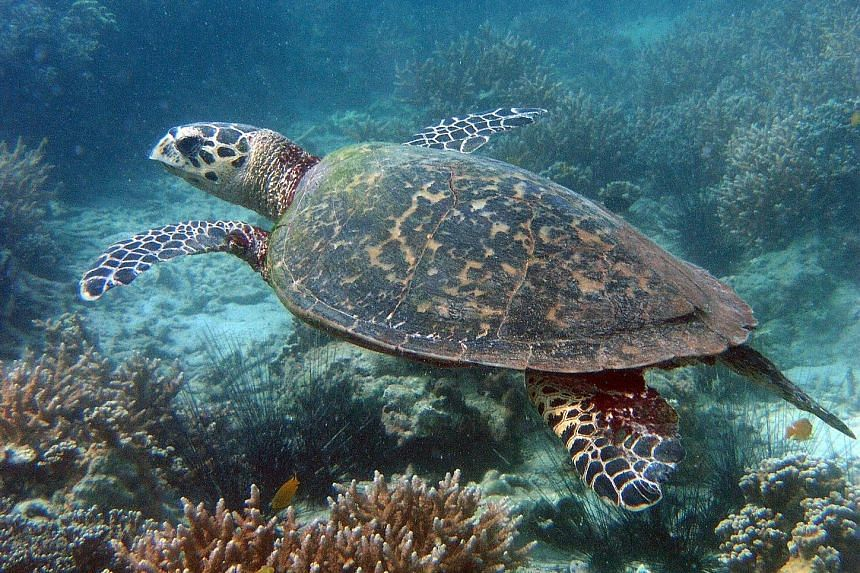 Pangolins (left) and otters (right) have benefited from the work of groups set up to study how to conserve animals at most immediate risk of local extinction. The critically endangered hawksbill turtle has been spotted in Singapore waters.