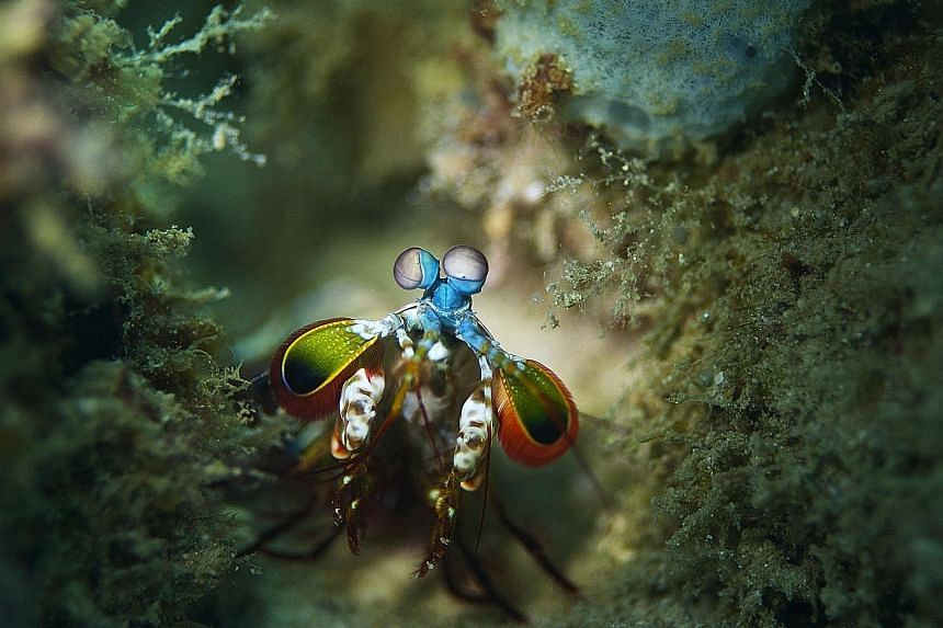 Shots taken by Al Hornsby include a peacock mantis shrimp (above) in Derawan Islands and a Komodo dragon in Rinca Island, both in Indonesia; and his book, Face To Face Up Close With Mother Nature.