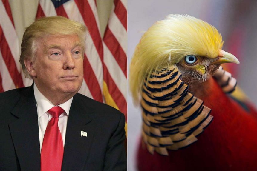 Little Red, the golden pheasant, has become an Internet sensation for sporting blonde plumage on its head that bears a striking resemblance to Donald Trump's trademark comb-over.