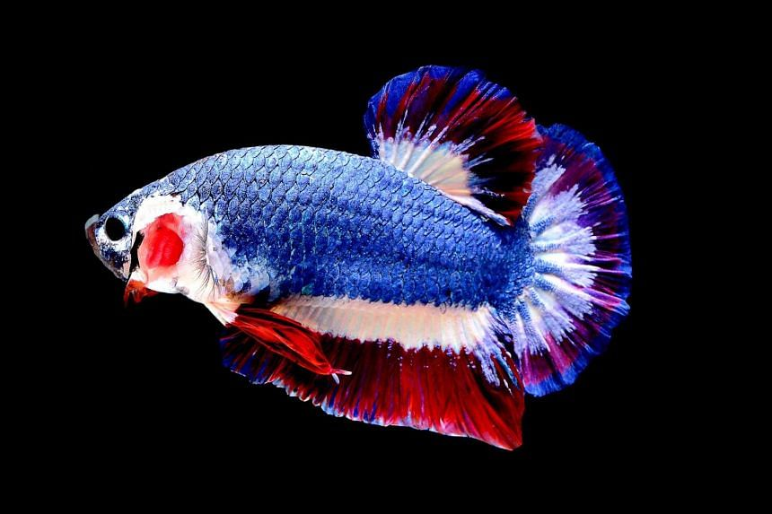 A Siamese fighting fish known locally as Pla-Kad (Betta splendens) with the red, white and blue stripes of the Thai flag in Bangkok.