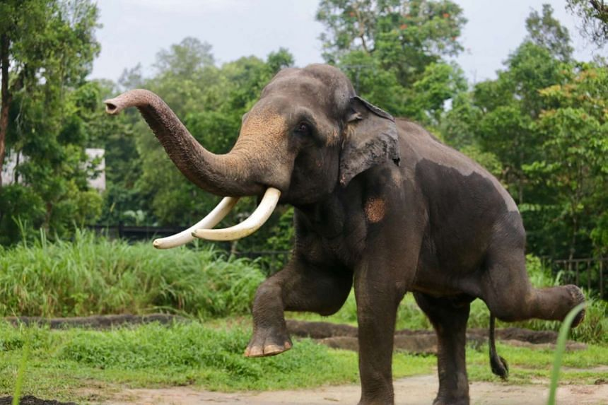 Chawang, a 4.5-tonne male Asian elephant, was named the new animal icon for the Night Safari.