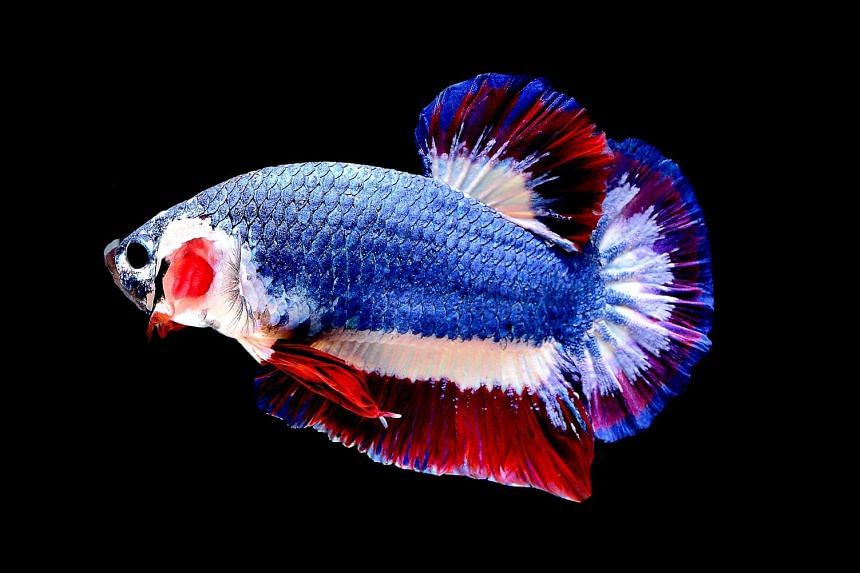 The sought-after Siamese fighting fish with the red, white and blue stripes of the Thai flag. Highest bidder Chuchat Lekdeangyu fought off rival buyers to take the prized pet home for 53,500 baht.