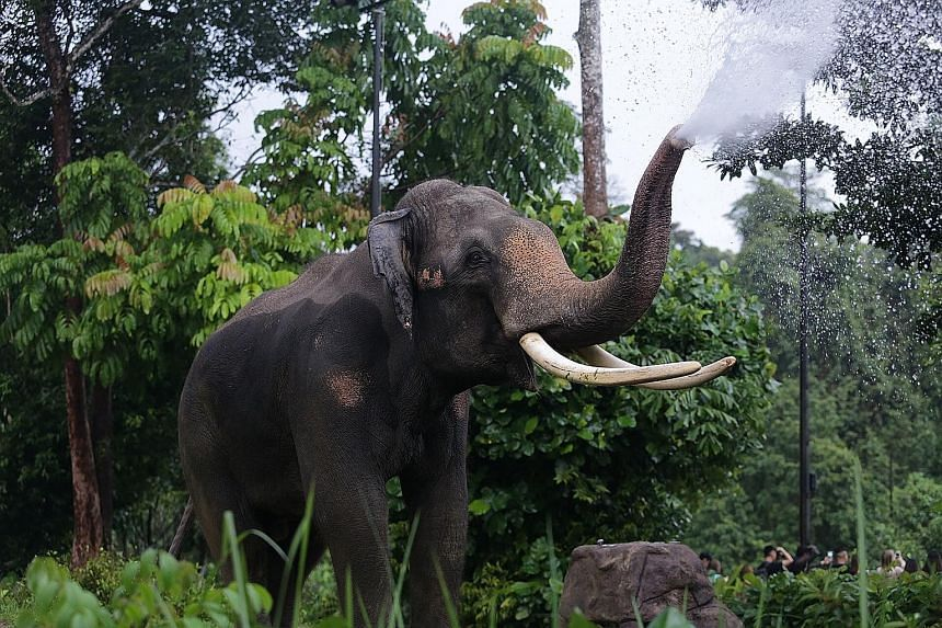 Chawang has been a favourite at the Night Safari since it opened in 1994.