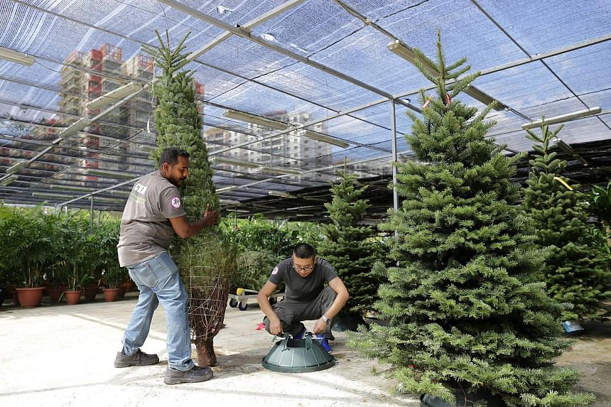 Workers at Sing See Soon Floral & Landscape preparing to secure a Christmas tree to a