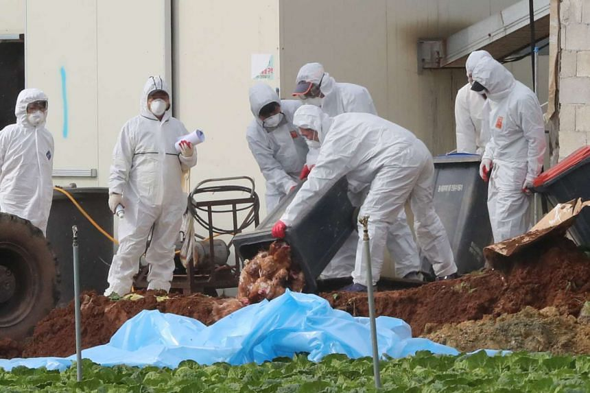 South Korean health officials bury chickens at a poultry farm where the highly pathogenic H5N6 bird flu virus broke out in Haenam, South Korea, on Nov 17, 2016.