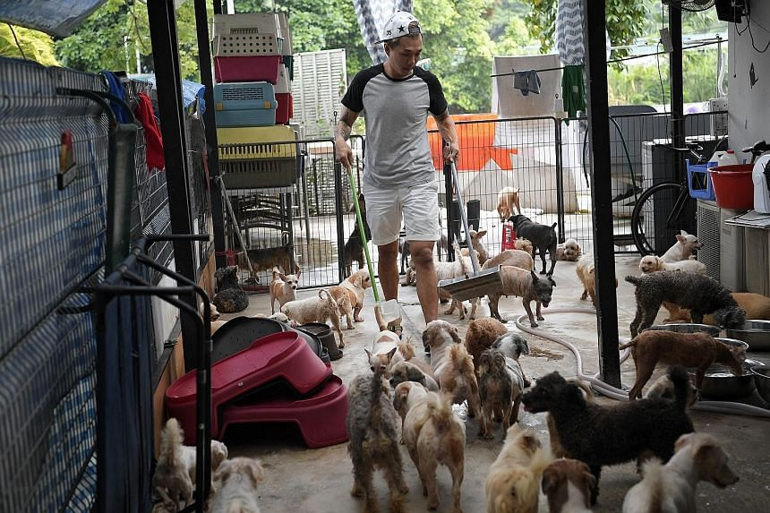 Mr Derrick Tan, president of Voices For Animals, with some of the dogs in his shelter last month. He said that as the animals will share common exercise areas in the new facilities, care needs to be taken to ensure that there are no disease outbreaks