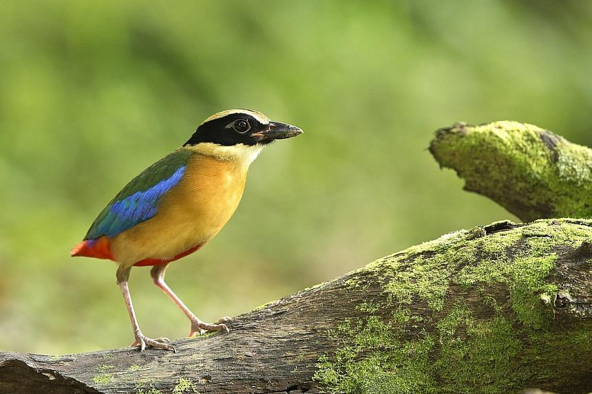The retaining of this green hillock (left), frequented by birds such as the blue-winged pitta (below, left), comes after discussions with the Nature Society of Singapore.