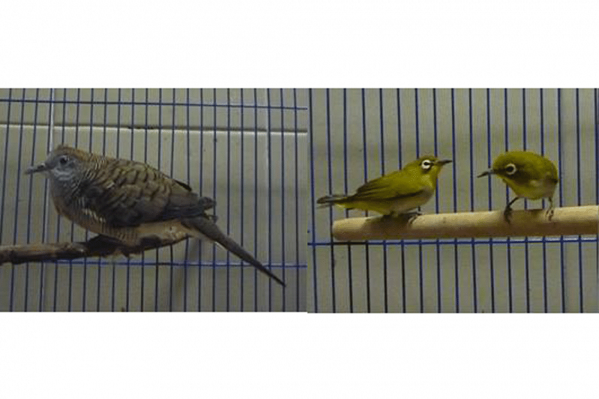 AVA seized the smuggled Zebra Dove (left) and two Oriental White-eye birds as part of AVA's investigation.