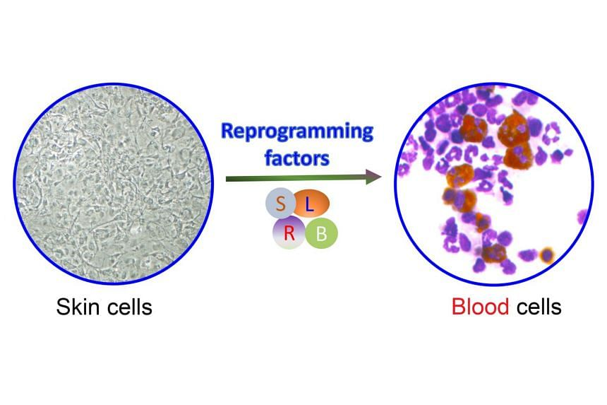 "A*Star scientists have succeeded in making blood cells from mouse skin cells through ""direct reprogramming"" - adding to the skin cells a mixture of chemicals that normally occur in blood cells."