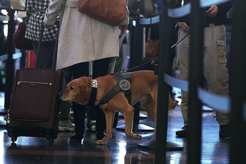 Some airports, such as at Ronald Reagan Washington National Airport (above) in Virginia pictured here on Wednesday, are engaging the services of therapy dogs to help ease the stress of frazzled travellers. About 49 million people are expected to trav