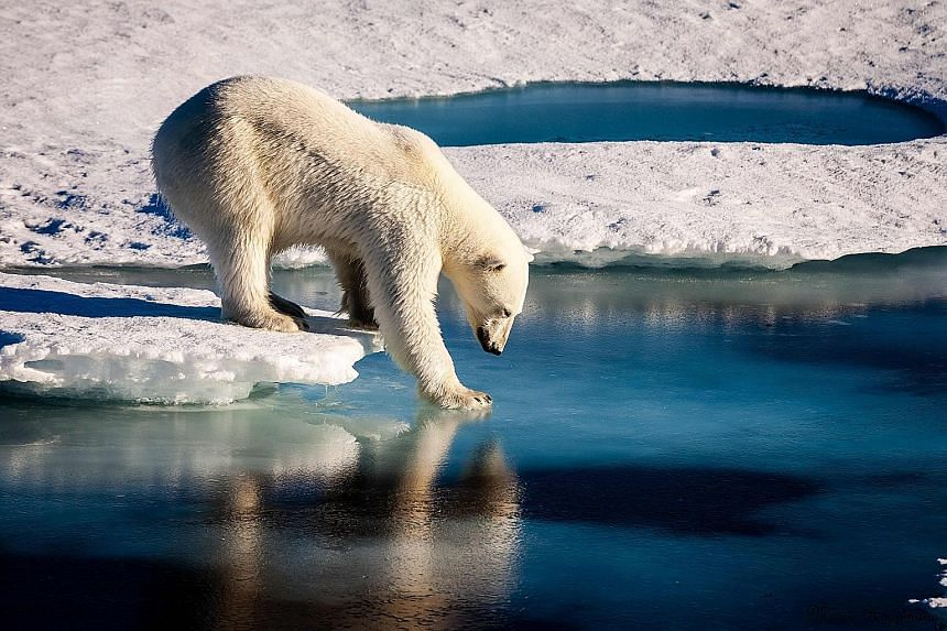 An Arctic polar bear. The climate catastrophe gets short shrift, largely because powerful fossil fuel producers still have enormous political clout following decades-long campaigns to sow doubt about whether anthropogenic emissions are really causing