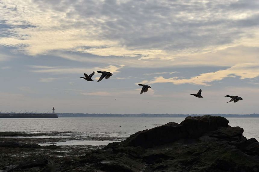 Ducks flying over the beach in Saint-Nazaire, western France on Oct 7, 2016.