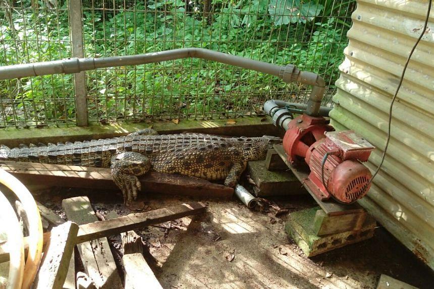 Crocodile found trapped at a Lim Chu Kang fish farm on Nov 18, 2016.