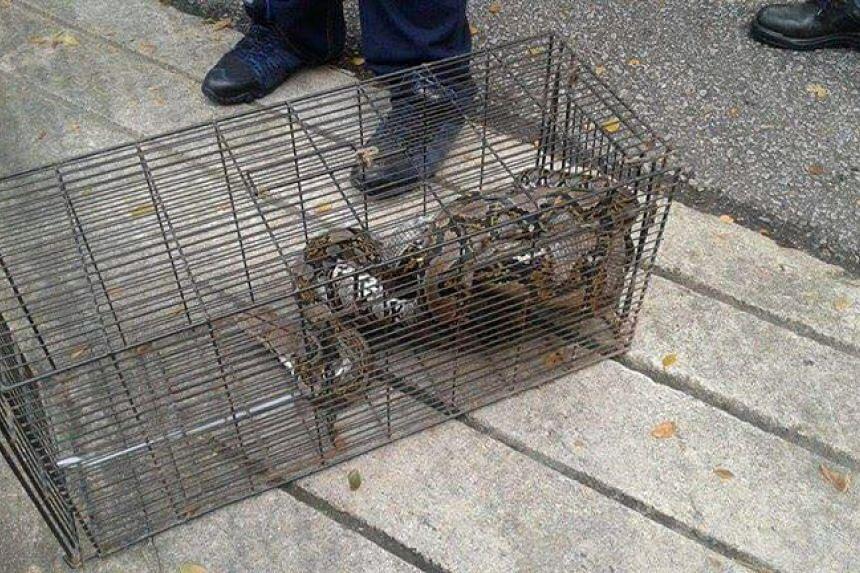 Python captured at Nanyang Heights on Nov 19, 2016.
