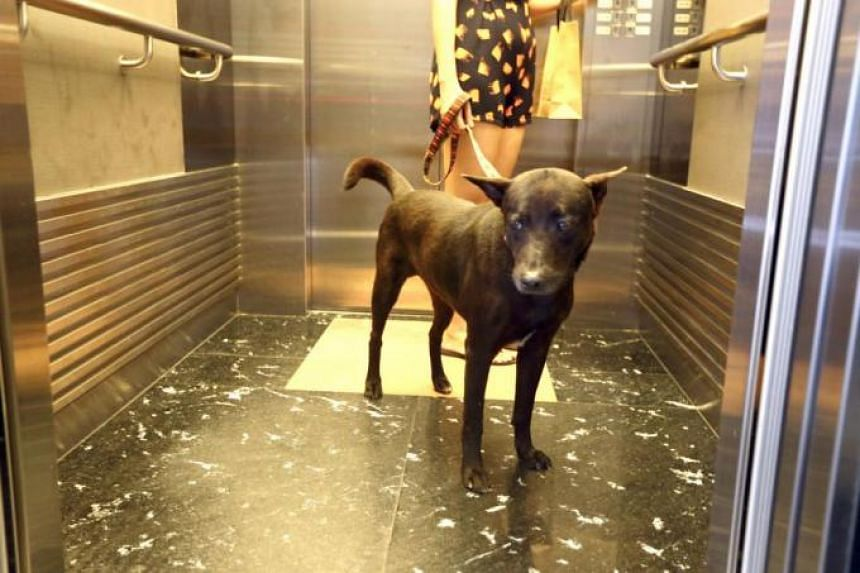 Resident Oei Ai Ling said it is unfair for the condo management council to ban her dogs Jerry (above) and Dogg from using the lift, just because they are too big to be carried.