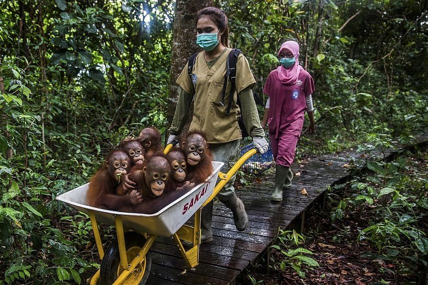 Keepers moving orang-utans to the International Animal Rescue centre in West Kalimantan. Agricultural powerhouses are expanding and destroying the forests there with the help of loans from some of the world's largest banks.
