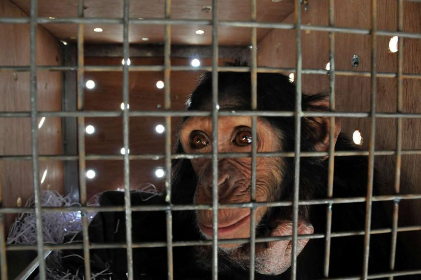 Four-year-old chimpanzee Manno, was rescued from a zoo in Duhok after being trafficked from Syria, he is seen here playing in his transport crate at Erbil International airport, on Nov 29, 2016.