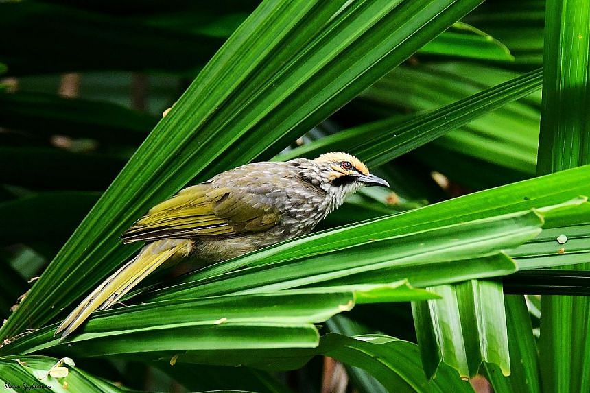 There are only an estimated 600 to 1,700 straw-headed bulbuls left in the wild. Singapore is thought to have at least 200 - and counting. Their numbers on Pulau Ubin have nearly doubled in 10 years.