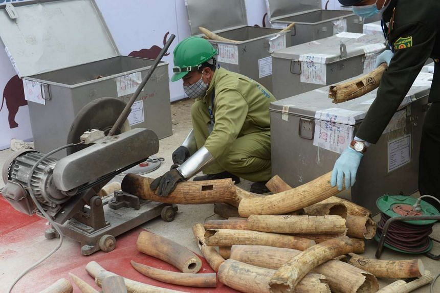 File photo of workers in Hanoi destroying a massive stockpile of ivory and rhino horns.