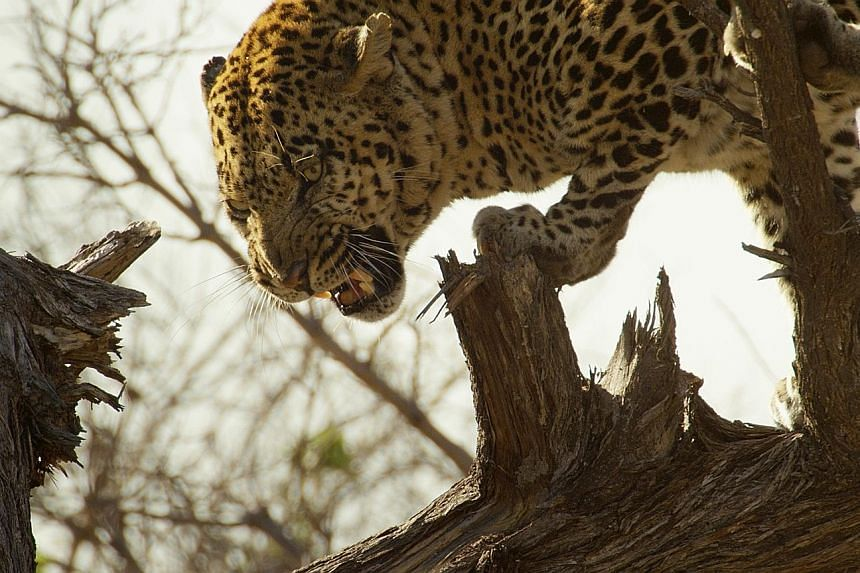 An old alpha male leopard is forced to hide in a fallen acacia tree after being chased by wild dogs.