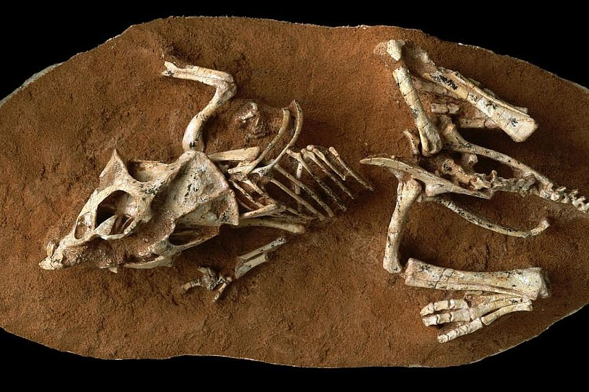 An undated handout photo shows a hatchling Protoceratops andrewsi fossil from the Gobi Desert in Mongolia. By using a new technique on exceedingly rare fossils of unhatched non-avian dinosaur embryos, scientists determined that they took twice as lon
