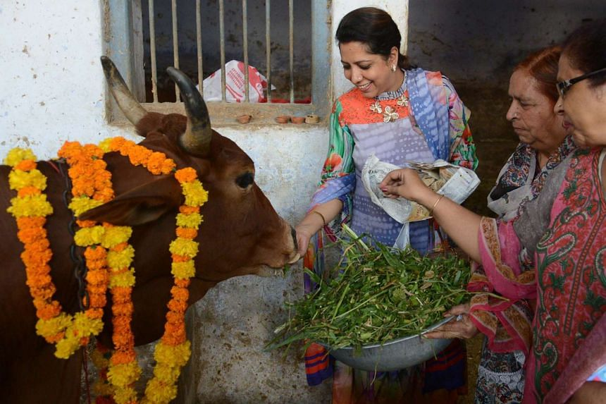 Indian devotees offer food to a cow during Gai Puja (cow worship) as part of the Gopal Ashtami festival.