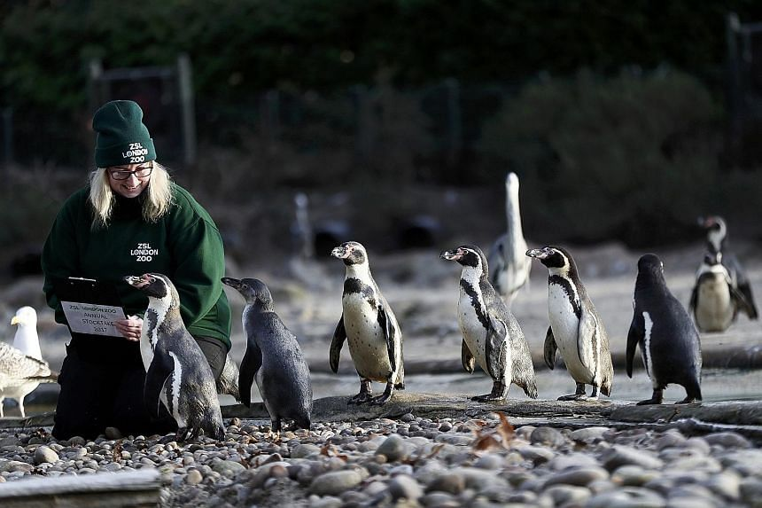 Zookeeper Suzi Hyde counting Humboldt penguins during the annual stocktake at the ZSL London Zoo in London on Tuesday. Keepers at the zoo have begun the mammoth task of counting the park's more than 700 species, with some using treats to entice some
