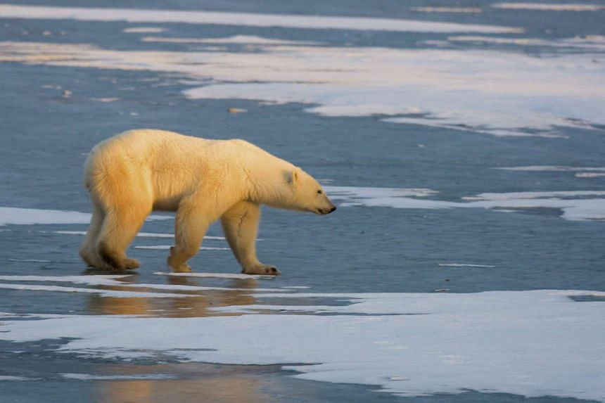 A polar bear walks on the frozen tundra on the edge of Hudson Bay, waiting for the Hudson Bay to freeze-over, outside Churchill, Mantioba, Canada.