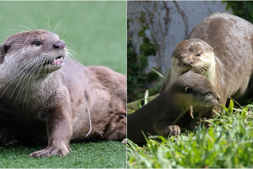 The female otter injured by a fishing hook and line has now been seen without the fishing line trailing from its body on Jan 7, 2017.