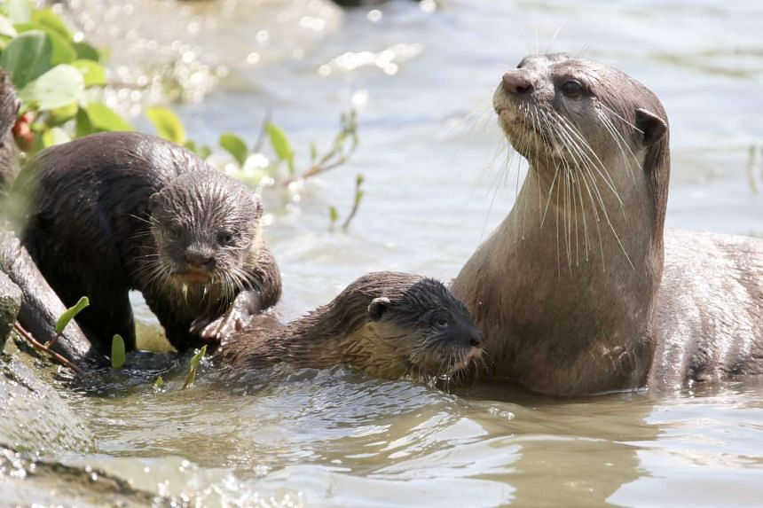 The otter mother with two of her children seen swimming on Jan 7, 2017.