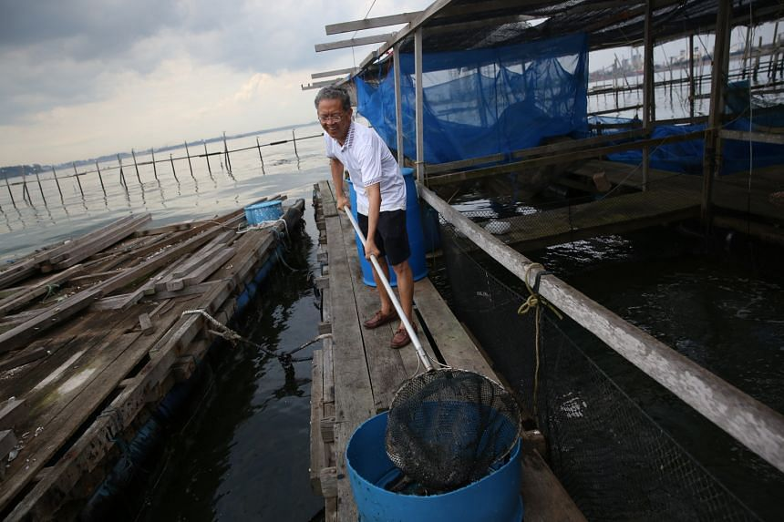 Mr Timothy Ng, who works at 2 Jays fish farm, clearing away the carcasses of fish that likely died because of the oil spill.