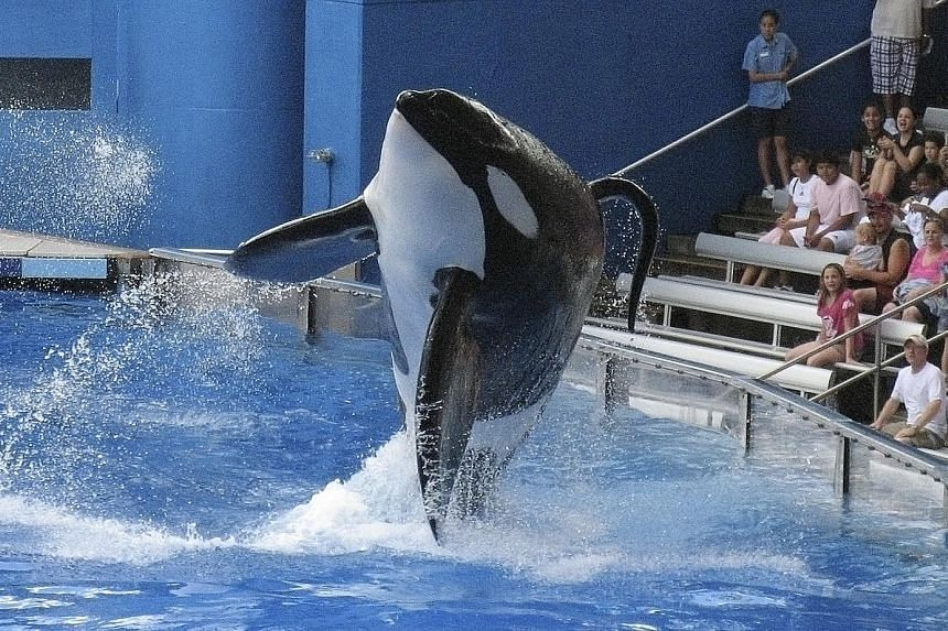 """Tilikum performing at SeaWorld Orlando in 2009. The approximately 36-year-old killer whale, which faced """"some very serious health issues"""", had been fighting a bacterial lung infection since March, said SeaWorld. It died on Friday."""