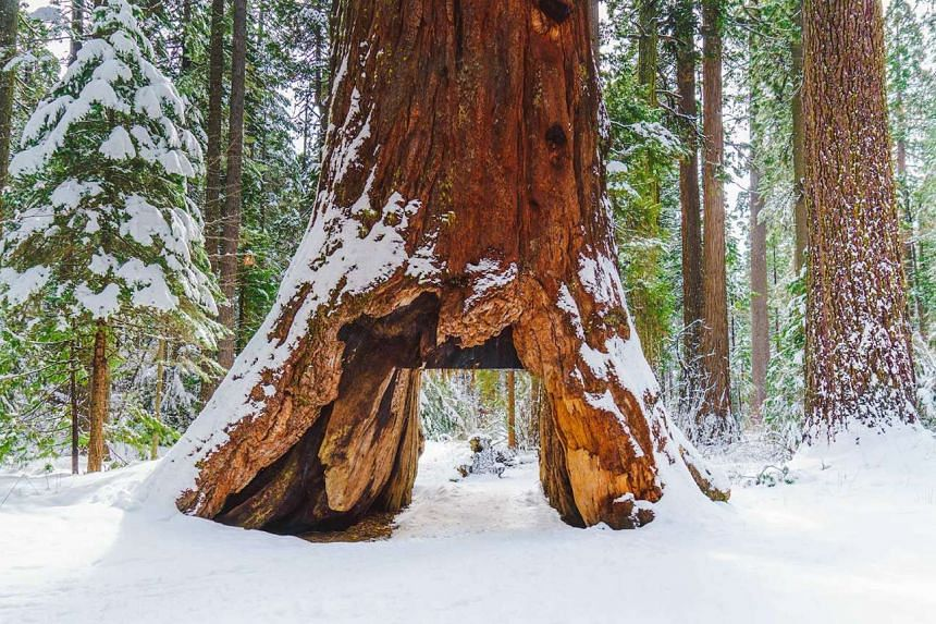 The giant sequoia tree had stood in Calaveras Big Trees State Park in Calaveras County since the late 1800s.