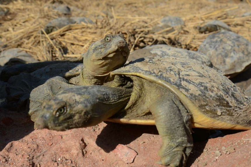 Turtles recovered after a foiled smuggling operation bask in the sun at the forestry department in Gauriganj village near the Indian town of Amethi on Jan 11, 2017.