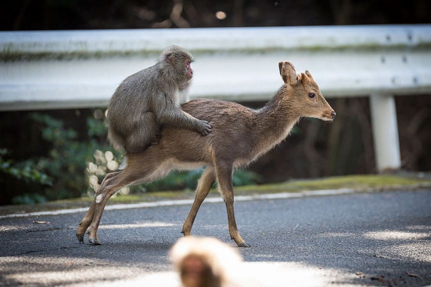 An undated handout picture released on Jan 10, 2017 by the Issekinicho publishing house shows an inter-species sexual behaviour between a male Japanese macaque and female sika deer, in Yakushimaru.