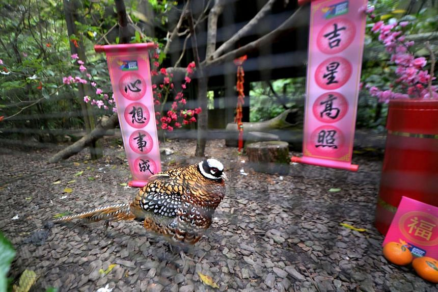 A Reeves's Pheasant amidst Chinese New Year-themed surroundings at the Wings of Asia trail at Jurong Bird Park.