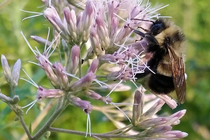 A rusty patched bumble bee, which has been proposed by the US Fish and Wildlife Service for federal protection as an endangered species.