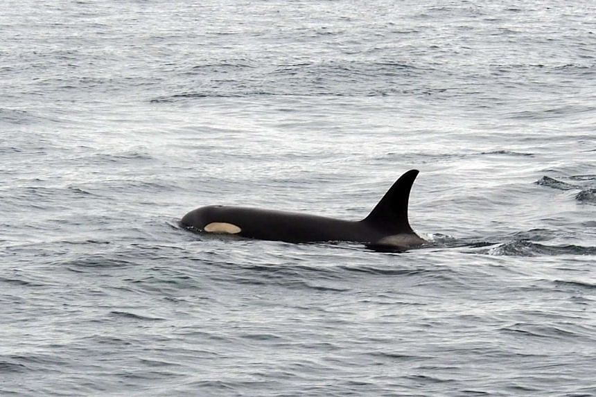 Researchers said orcas, also known as killer whales, are among just three species known to go through menopause.