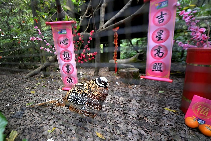 A Reeves' pheasant struts around Chinese New Year-themed surroundings at the Wings of Asia trail at Jurong Bird Park. Guests to the park can learn more about the fowl family at the Wings of Asia trail, where 13 varieties of pheasants are on display.