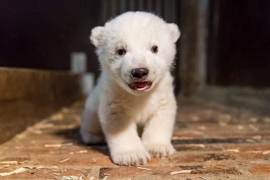 A handout photo issued by Berlin's Tierpark Zoo, showing the polar bear cub during an inspection to determine its condition and sex, in Berlin, Germany, on Jan 12, 2017.