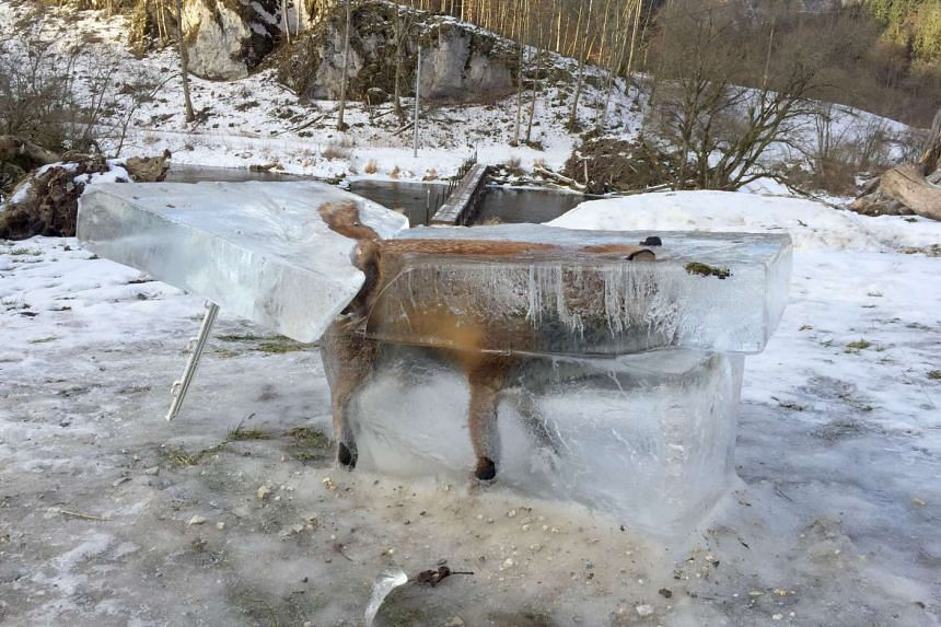 A block of ice with a frozen fox stands in Fridingen, southern Germany, on Jan 13, 2017.