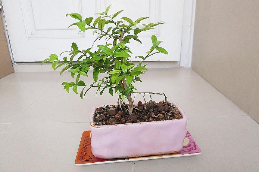 """""""Shui mei"""" plant"""